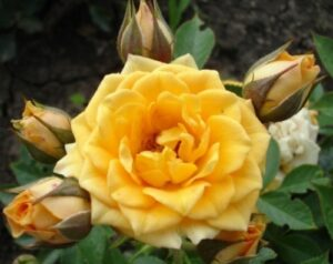 Роза Макарена в Арамилье