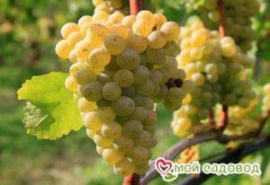 Виноград Сухолиманский в Арамилье