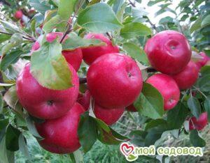 Яблоня Айдаред в Арамилье