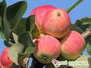 Яблоня Августа в Арамилье