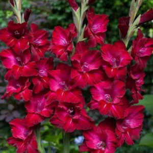 Гладиолус Крупноцветковый Дот Ком в Арамилье