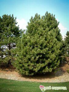 Сосна Чёрная (Pinus Nigra) в Арамилье