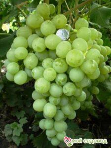 Виноград Антоний Великий в Арамилье
