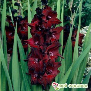 Гладиолус Крупноцветковый Черная звезда в Арамилье
