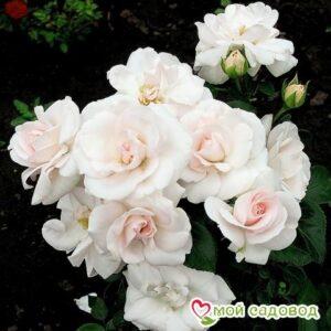 Роза Аспирин в Арамилье