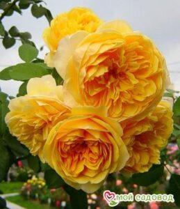 Роза Грехам Томас в Арамилье