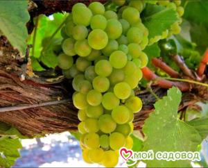 Виноград Амурский Белый (Высокоурожайный, ранний сорт) в Арамилье