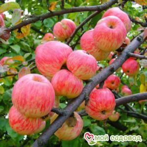 Яблоня Мельба в Арамилье