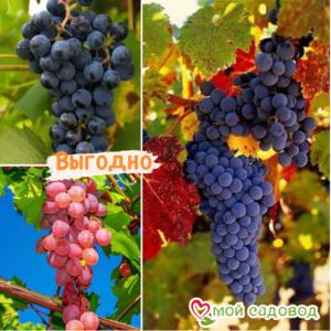 Тройная выгода винограда! (морозоустойчивый) в Арамилье