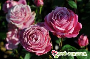 Роза Дитер Мюллер в Арамилье