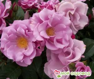 Роза Блуберри Хилл в Арамилье