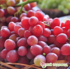 Виноград Новочеркасский красный в Арамилье