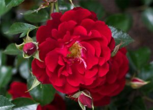 Роза Хеллоу в Арамилье