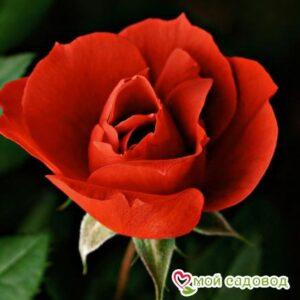 Роза Микадо в Арамилье