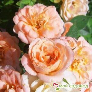 Роза Даниэла в Арамилье