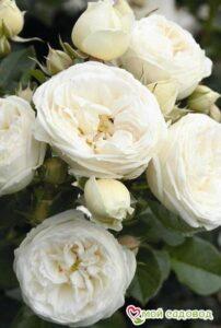 Роза Артемис в Арамилье
