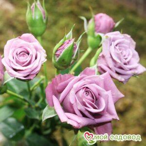 Роза Билона в Арамилье