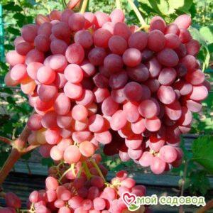 Виноград Катавба в Арамилье