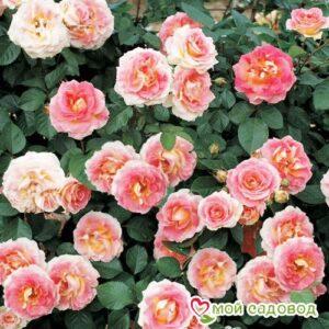 Роза Цезарь в Арамилье