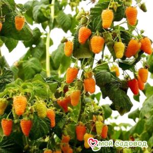 Малина ремонтантная Оранжевое Чудо в Арамилье