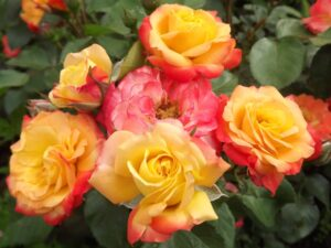 Роза флорибунда Маскарад в Арамилье