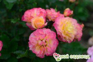 Роза ЛандЛуст в Арамилье