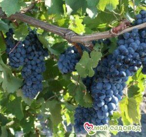 Виноград Рубиновый Магарача в Арамилье