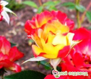 Роза Сонья в Арамилье