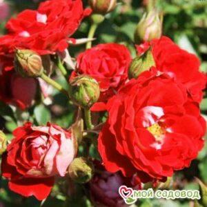 Роза Мейди в Арамилье