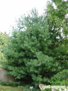 Сосна кедровая Арманда в Арамилье