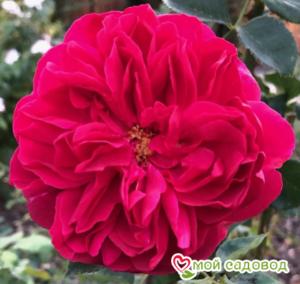Роза Томас Бакет в Арамилье