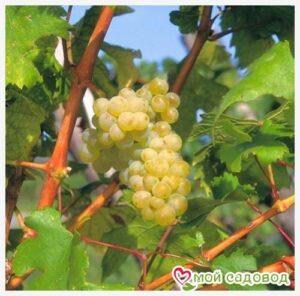 Виноград Фетяска мускатная в Арамилье