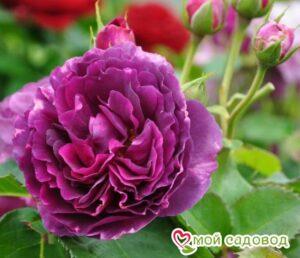 Роза Минерва в Арамилье