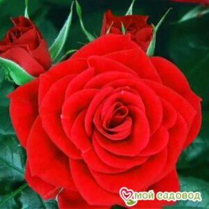 Роза Ред Мин в Арамилье