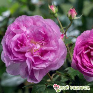 Роза Сапфир в Арамилье
