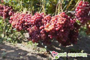 Виноград Велес в Арамилье