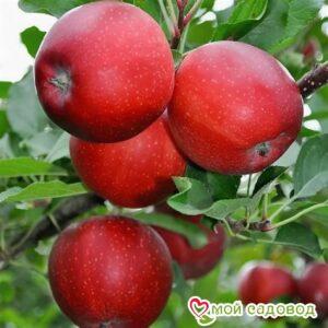 Яблоня Гала Маст в Арамилье