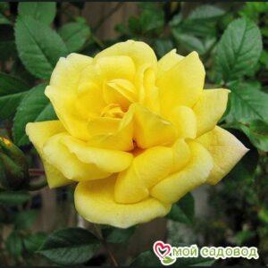 Роза Лаура Форд в Арамилье