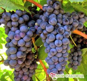 Виноград Гурзуфский розовый в Арамилье
