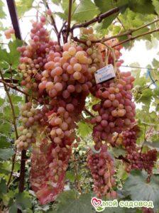 Виноград Лучистый в Арамилье