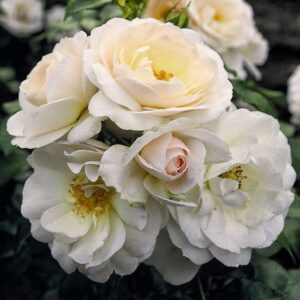 Роза Сириус в Арамилье