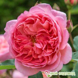 Роза Боскобел в Арамилье