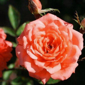 Роза Анжела Риппон в Арамилье