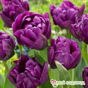 Тюльпан махровые Перпл Пион в Арамилье
