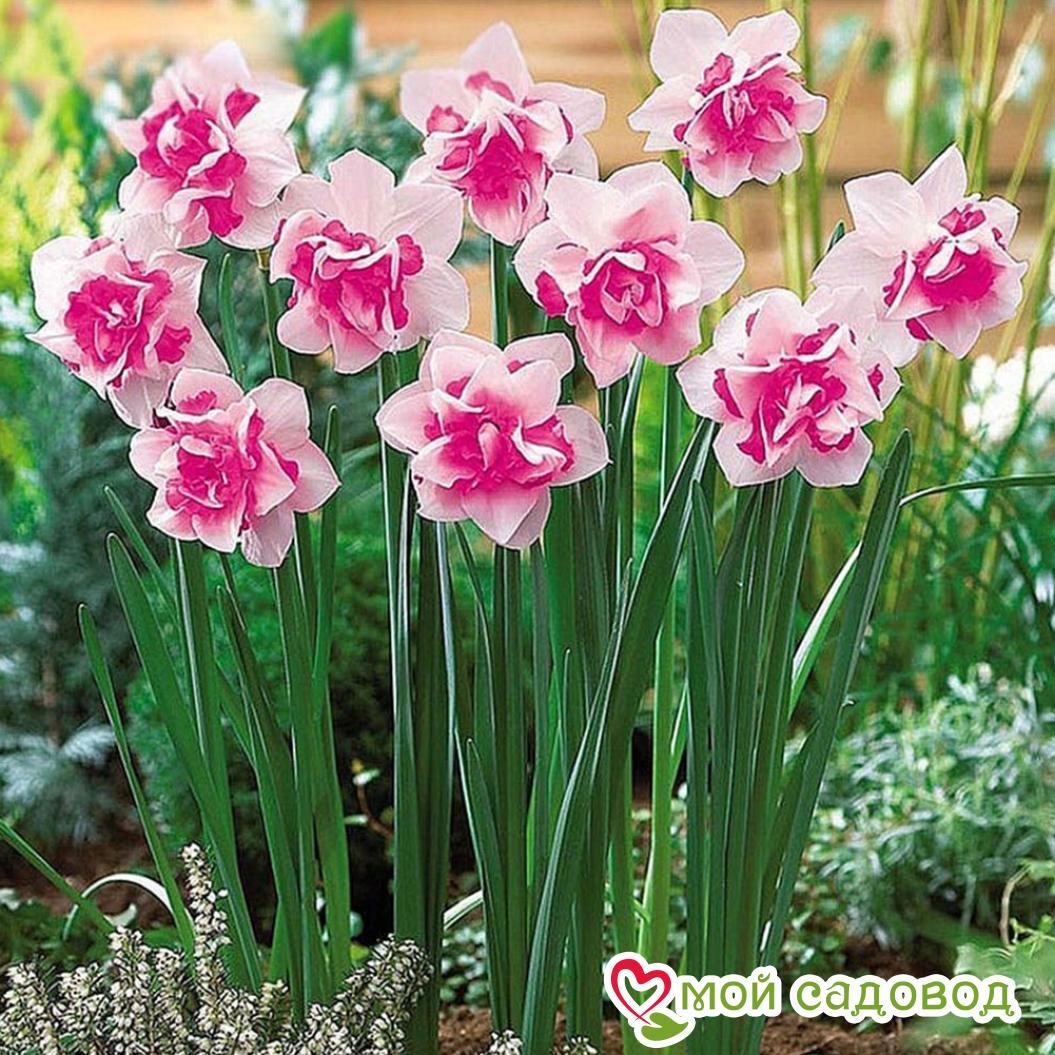 Нарцисс Розовый крупноцветковый в Арамилье