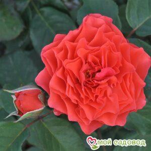Роза Экланд де Кораил в Арамилье