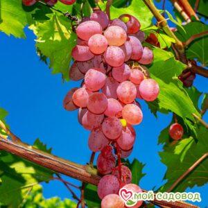 Виноград Лидия (Розовая Изабелла) в Арамилье
