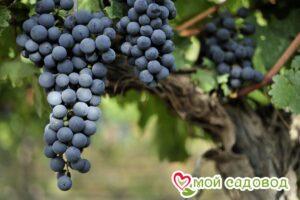 Виноград Ливадийский черный в Арамилье