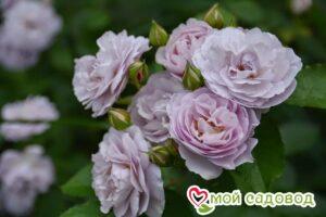 Роза Флоренс Делатре в Арамилье