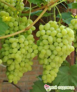 Виноград Лора в Арамилье